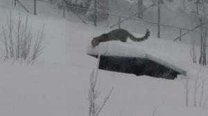 Snöleoparden leker i snön